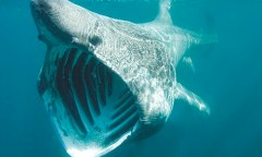 Basking shark feeding of the Cornish Coastline