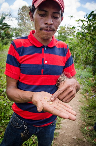 Nicaragua coffee picker